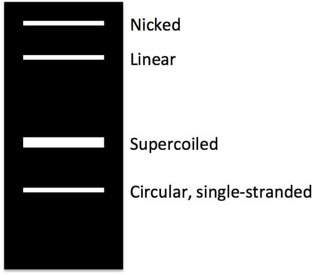 How To Identify Supercoils Nicks And Circles In Plasmid