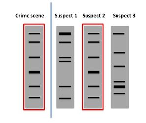 How are crimes solved by PCR? - Bitesize Bio