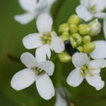 Arabidopsis thaliana: the species in which plant miRNAs were discovered
