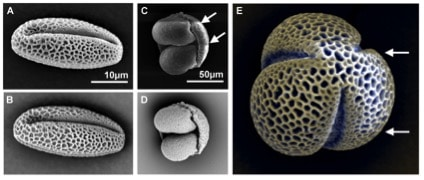 Figure 5. SEM images of pollen, comparing the difference between secondary electron (A and C) and backscattered electron (B and D) signals. Pollen grains from willow (A-B) pine (C-D) and hellebore (E) are shown. E shows an image where the both signals have been coloured and combined (secondary in yellow and backscattered in blue). Arrows indicate lines of distortion caused by the sample charging.