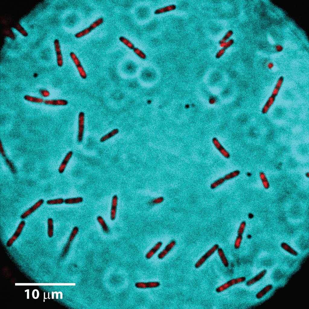 Single cell microscopy enables simultaneous observation of multiple cells at various independent growth stages. This snapshot shows ~40 live E. coli cells. The red color indicates intracellular DNA. (Data courtesy Weisshaar Lab, University of Wisconsin-Madison)